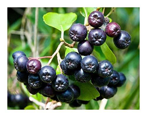 Aronia melanocarpa - Aronie à fruits noirs - bombe à vitamines - 20 graines