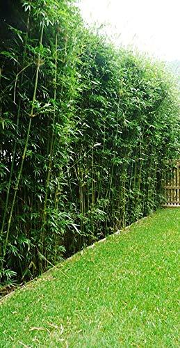 Bambusa Green Hedge Bamboo - Non-Invasive, Clumping Bamboo t