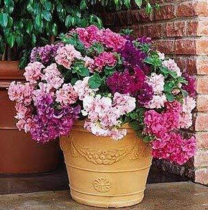 300pcs Seeds Pan-américain n Fleurs Petunia Pétales Double Waterfall pluguglies Graines de fleurs jardin Bonsai ensemble