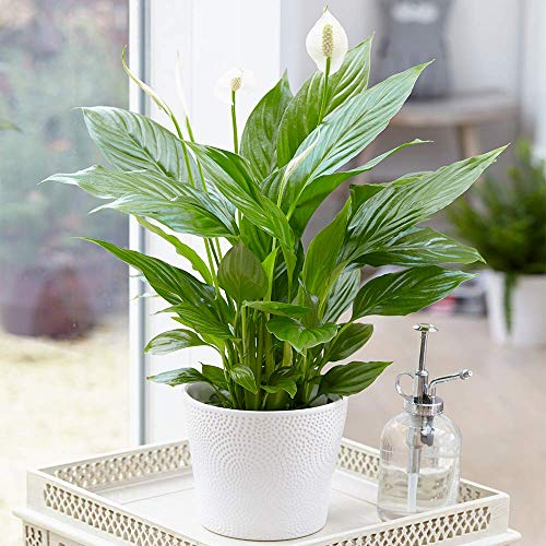 Spathiphyllum 'Peace Lily' Indoor Plants - 1 x Potted Lily House Plant 9cm...