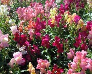Just Seed Couronne de fleur Muflier M lange 1500 graines