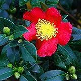 I semi sono il pacchetto di set. A livello internazionale che fornisce la spedizione L'immagine è solo per riferimento. Grassi: Camellia Sasanqua Yuletide - Autunno Camelia, semi in un vaso da 8,9 cm.