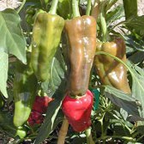 GEOPONICS 100 -: Santo Domingo Pueblo Hot Pepper- A variy from the Dominican Republic