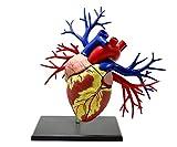 青島文化教材社 4D VISION 19DX心臓解剖モデル