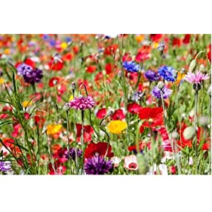 1kg Mixed Poppy & Cornflower Wildflower Meadow Plus 8 Species Meadow Grasses Pasture 1Kg Wholesale Bulk joblot Wild Flowers Mix 50 by PRETTY WILD SEEDS Free Next Working Day delivery to Mainland UK