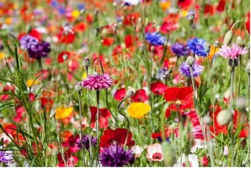 1kg Mixed Poppy & Cornflower Wildflower Meadow Plus 8 Species Meadow Grasses Pasture 1Kg Wholesale Bulk joblot Wild Flowers Mix 50 by PRETTY WILD SEEDS Free Next Working Day delivery to Mainland UK