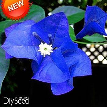New Arrival!A Pack 100 Pcs Seeds Unique Blue Bougainvillea Spectabilis Seeds Perennial Bonsai Plant Flower Seeds,#3T3BG6