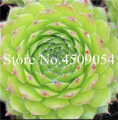 Sumpf frisch 300 Stück Living Stone Sempervivum Pflanzensamen zum Pflanzen von Grün 2