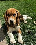 Pittura per Numeri per Adulti Cane Beagle su Erba Kit di Pittura a Tela Digitale per Adulti per Adulti