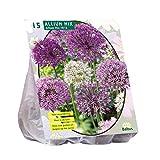 Allium gemischt lila weiß 15 Stück Blumenzwiebel