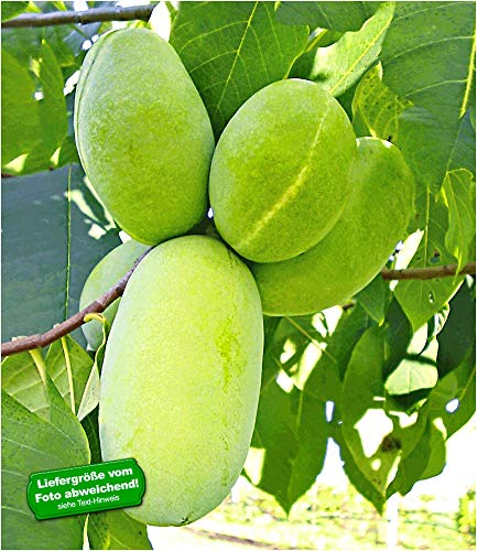 BALDUR Garten HÄBERLI'S Indianer-Banane® Prima®- veredelte Sorte 1 Pflanze, Asimina triloba veredelt winterhart