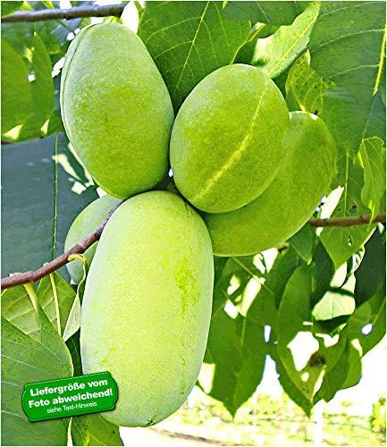 BALDUR-Garten HÄBERLI'S Indianer-Banane® Prima®- veredelte Sorte 1 Pflanze, Asimina triloba veredelt winterhart