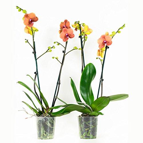 Orchideen von Botanicly – 2 × Schmetterlingsorchidee orange – Höhe: 60 cm, 2 Triebe, orangene Blüten – Phalaenopsis multiflora Surfsong