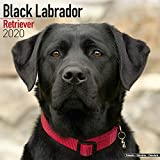 Avonside Publishing Ltd: Black Labrador Retriever Calendar 2