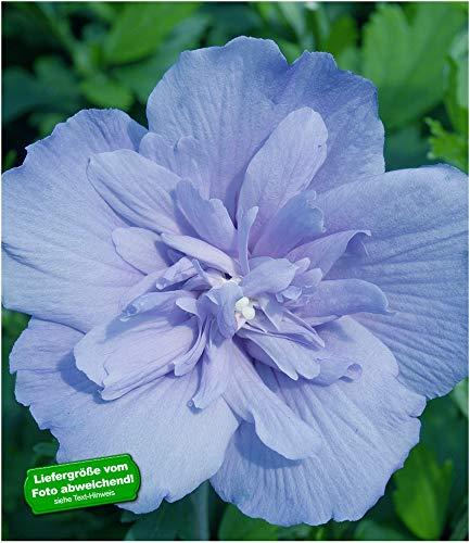 BALDUR-Garten BALDUR-GartenGefüllter Hibiskus Chiffon blau 1 Pflanze Hibiscus syriacus winterhart