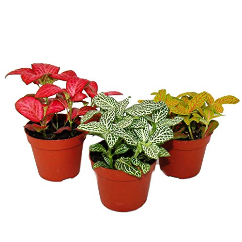 Exotenherz - Set mit 3 verschiedenfarbige Fittonia -Pflanze, Silbernetzblatt, Mosaikpflanze, 9cm Topf