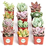 Shop Succulents | Premium Pastel Collection of Live Succulent Plants, Hand Selected Variety Pack of Mini Succulents | Collection of 12