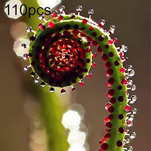 Maxtapos-100Pcs Semi di Drosophyllum rari Qualità certificata Facile Coltivazione Pianta di ortaggi freschi Giardino Cortile Campo Balcone Decorazione