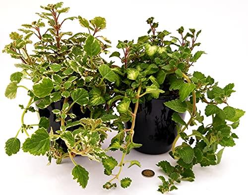Incienso de plexiglás verde / verde claro y variado blanco, en maceta de cerámica negra de 14 cm, 2 plantas, plantas auténticas