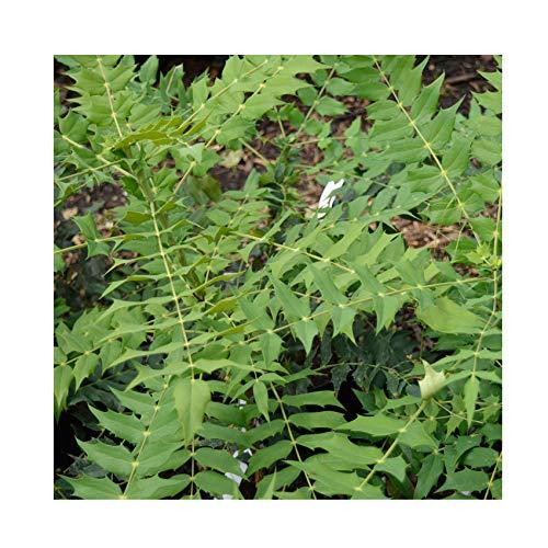 Mahonia Japonica 15cm Pot Size