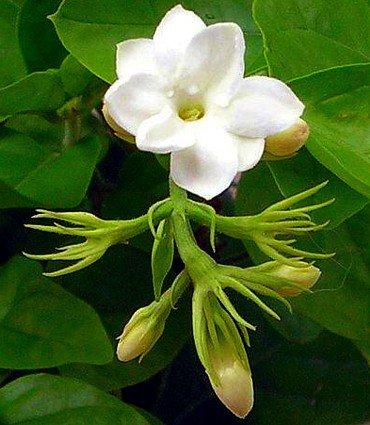 """Ohio Grown Arabian Tea Jasmine Plant - Maid of Orleans - 4"""" Pot"""