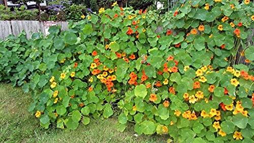 Aamish Bodendecker essbare Blumensamen