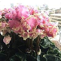シクラメン:カンパーナシュシュ6号鉢植え