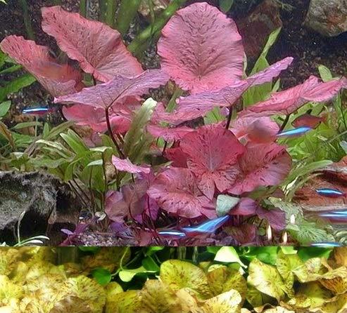 Mühlan Topartikel- Je 1 rote und grüne Tigerlotus mit ca. 5 cm Austrieb und mit Knolle - Die schönsten Wasserpflanzen im Aquarium