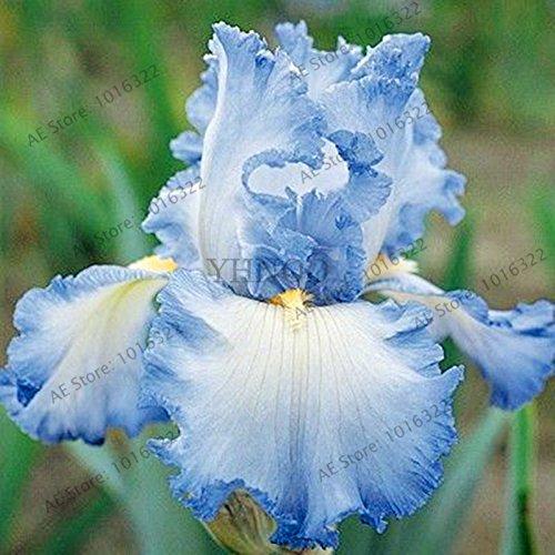 50pcs/sac graines Iris, fleur populaire de jardin de plantes vivaces, graines de fleurs rares coupe magnifique fleur pour orchidée plantation de jardin à domicile 4