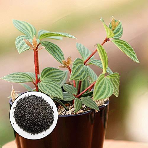DaDago 100 Teile/Beutel Peperomia Samen Peperomia Tetragona Bonsai Exotische Blume Bonsai Melone Blätter Samen