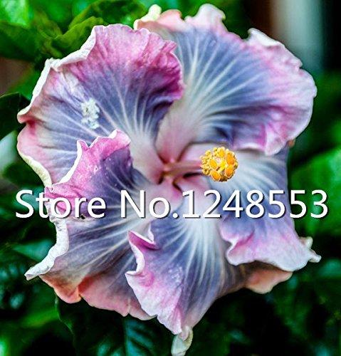 500 pcs / sac spécial semences rares graines de couleur de fleur d'hibiscus Sementes De Flores Plantes - Mélanger Rare bonsaï Tropical Hibiscus Plante