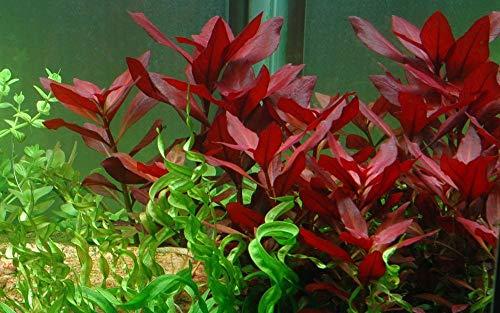 Tropica Aquarium Pflanze Ludwigia repens 'Rubin Nr.033D Wasserpflanzen Aquarium Aquariumpflanzen