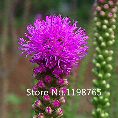 2016 Nouvelle arrivée 200 particules Chrysanthemum Seeds bouton Seeds Snakeroot Liatris Spicata vivace fleur plante