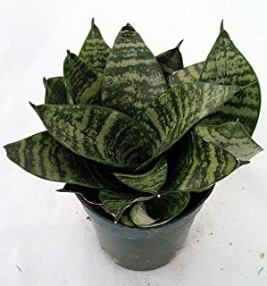 Dwarf Zeylanica Snake Plant - Sanseveria - Impossible to kill! - 4