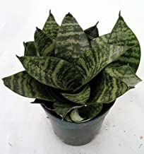 Best sansevieria birds nest Reviews