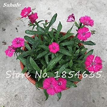 Inde importation Œillets Seed Dianthus caryophyllus Embellir et de purification d'air bricolage jardin Plantation maman cadeau 120 Pcs 11