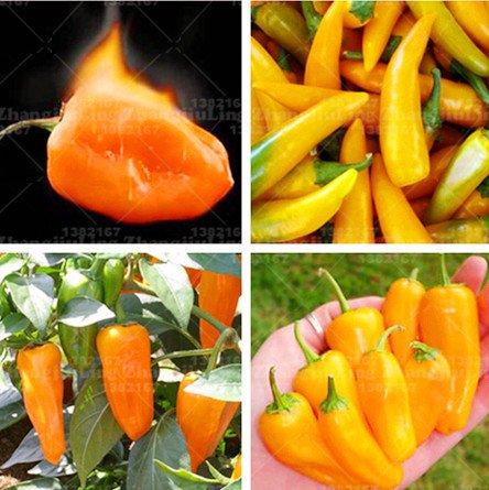 chaud Graines de légumes de 100pcs Brésil Habanero orange Piment Plante extrêmement chaud pour barbecue et le steak grillé