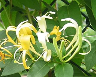 7 Live Plants HALL'S Honeysuckle Vines White Yellow Flowers Japanese Lonicera