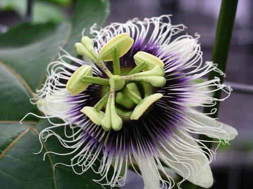5 Graines de Passiflora edulis Passiflore