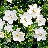 VISA STORE 5 Semillas de Gardenia Jasminoides Kleims...