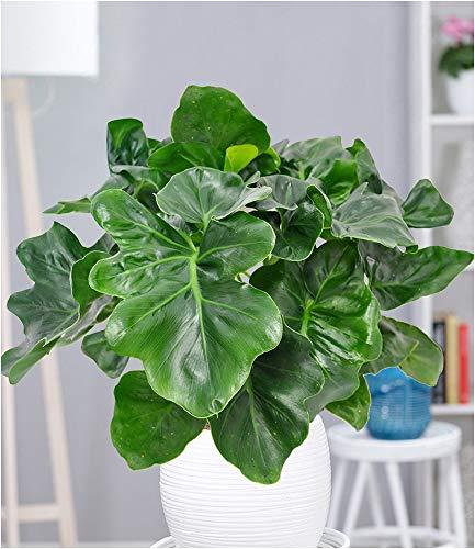 BALDUR-Garten Zimmerpflanze Philodendron Atom, 1 Pflanze Luftreinigende Zimmerpflanze Baumfreund Philodendron bipinnatifidum Zimmerpflanze