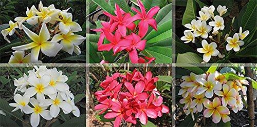 Lot de 4 graines de plumeria rubra mix frangipanier - plantes vivaces
