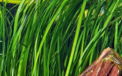 Tropica Aquarium Pflanze Vallisneria spiralis 'Tiger Nr.055A Wasserpflanzen Aquarium Aquariumpflanzen