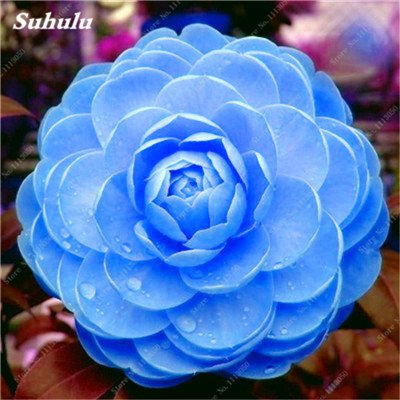 Grosses soldes! 10 Pcs Camellia Graines, Graines Bonsai Fleur, couleur rare, bonsaïs d'intérieur / extérieur Plante en pot pour jardin Facile à cultiver 18