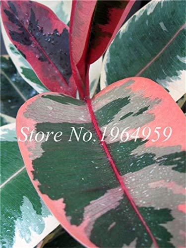 RETS Bonsai 50 PC chinesische Ficus benjamina Bonsai Pflanzen Blumen Topf Bonsai Variety komplette Hausgarten-Anlagen Easy Grow: 13