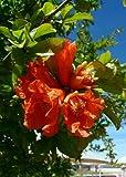 TROPICA - Melograno (Punica granatum) - 25 Semi- Mediterraneo