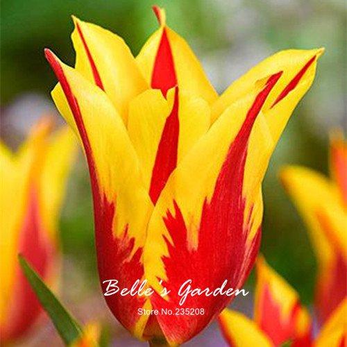 5pcs bord Rare jaune Tulipe rouge Bulbes Bonsai fleur de tulipe Tulipa « Fire » jardin en pot Plantes vivaces bulbes