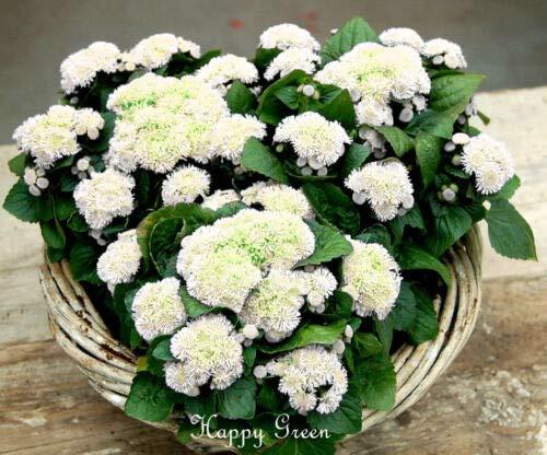 Ageratum Houstonianum Blüten, Weiß, 2000 Samen