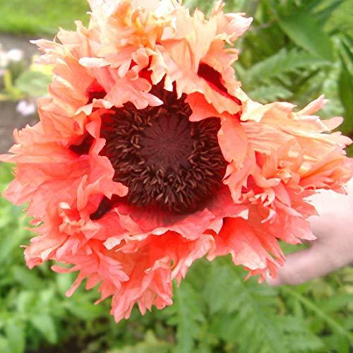 4 x Papaver Orientale 'Pink Ruffles' - Oosterse klaproos pot 9cm x 9cm
