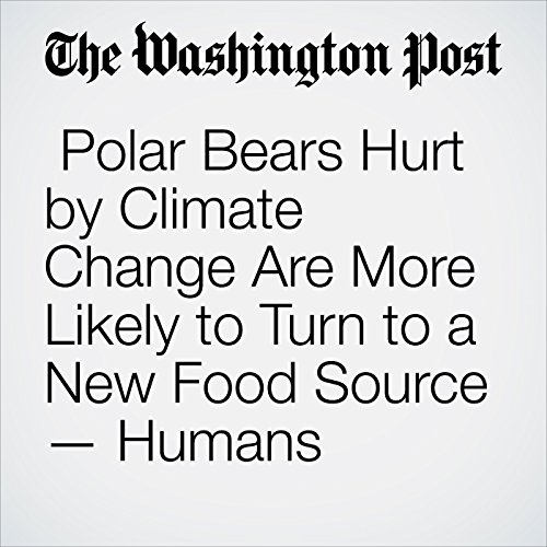 Polar Bears Hurt by Climate Change Are More Likely to Turn to a New Food Source — Humans copertina